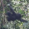 горилла упала с дерева