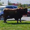 бык сбежал от ветеринаров