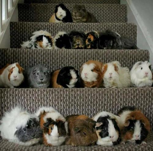 армия морских свинок