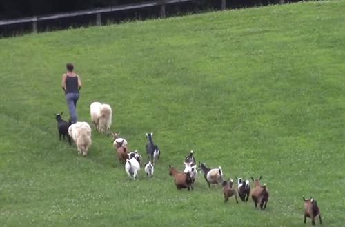 организованность обитателей фермы