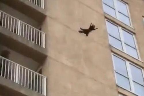 енот прыгнул с высоты