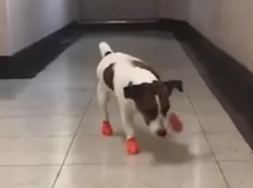 новая обувка для пса