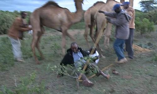 верблюд с дурным характером