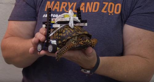 инвалидная коляска для черепахи