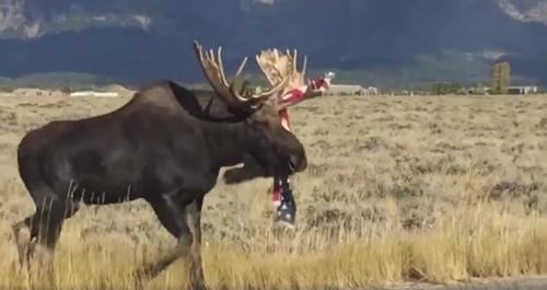 патриотичный лось с флагом
