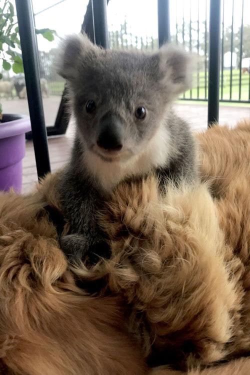 собака согрела коалу