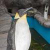 фальшивые пингвины в зоопарке
