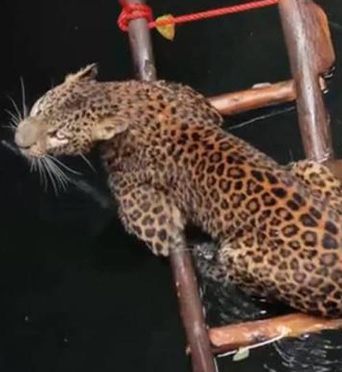 леопард свалился в колодец