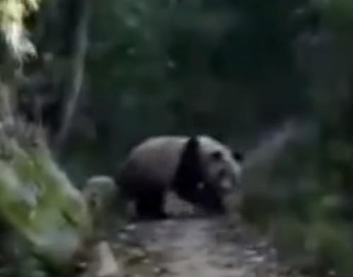 дикая панда в заповеднике