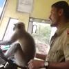 обезьяна управляет автобусом