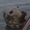 знакомство тюленя и каякера