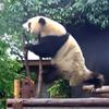 панда показала акробатическое шоу