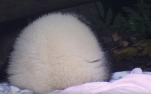 панда похожа на булочку