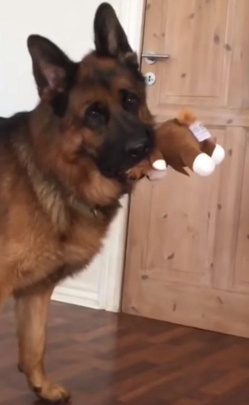 овчарку поразили пищащие щенки