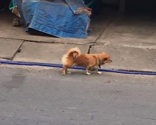 собака имитирует инвалидность