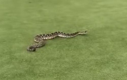 змея явилась на поле для гольфа