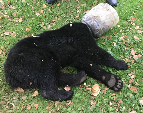 медвежонок с банкой на голове
