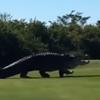 знаменитый аллигатор в гольф-клубе