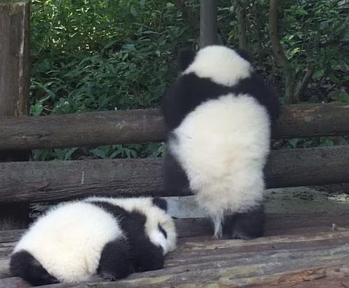 маленькая панда покорила забор