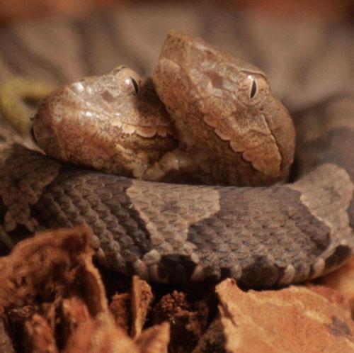 двухголовая змея на выставке