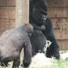 приставучий детёныш гориллы