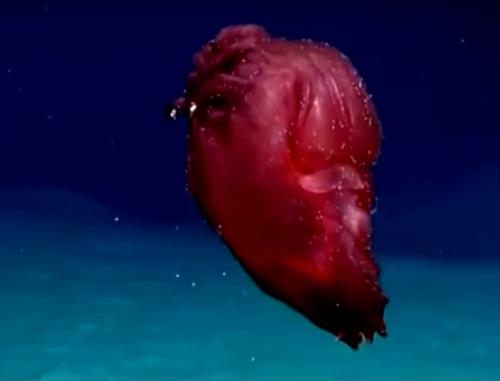 безголовый морской цыплёнок