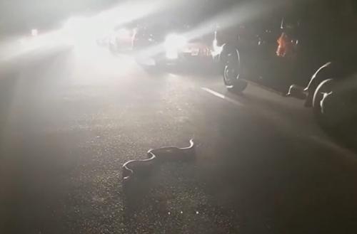 кобра не попала под машину
