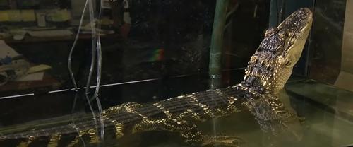 аллигатора подкинули в зоомагазин