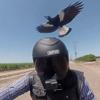 мотоциклист и злобные птицы