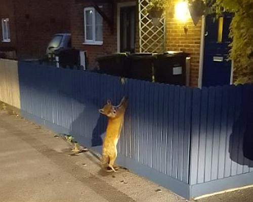 неловкая лиса застряла в заборе