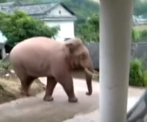 слон ходит в деревню