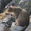 кошка на горной вершине