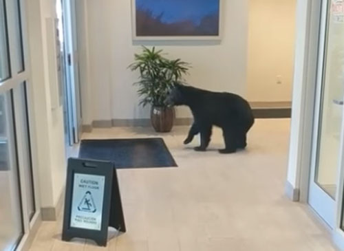 медведь явился в отель