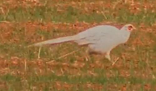 редчайший фазан-альбинос