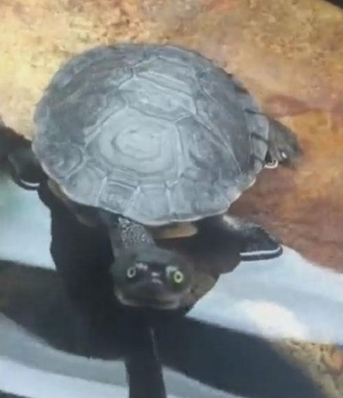 черепаха играет в гляделки