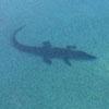 крокодил плавает в бассейне