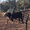 бык застрял в ограждении