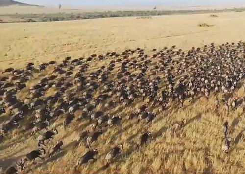 красивое зрелище с антилопами гну