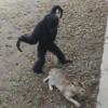 гиббон играет с кошкой