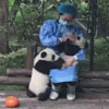 нетерпеливая маленькая панда