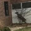 олень ворвался в школу через окно