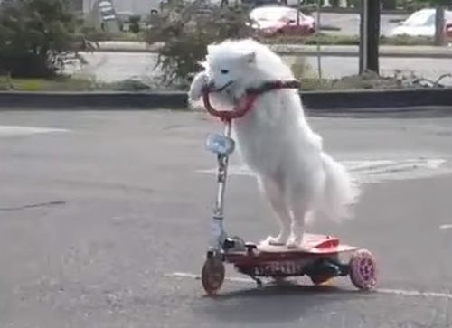 собака катается на самокате