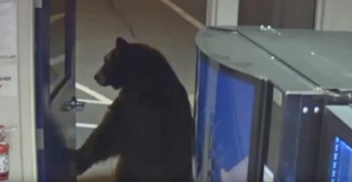 медведь в полицейском участке
