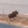 лось перепрыгивает через забор