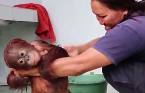 маленького орангутанга вымыли