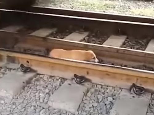 собака заснула в опасном месте