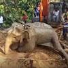 слониха застряла в грязи
