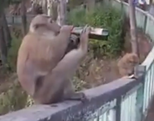 обезьяна пьёт пиво из бутылки