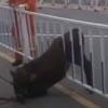 телёнок застрял в заборе
