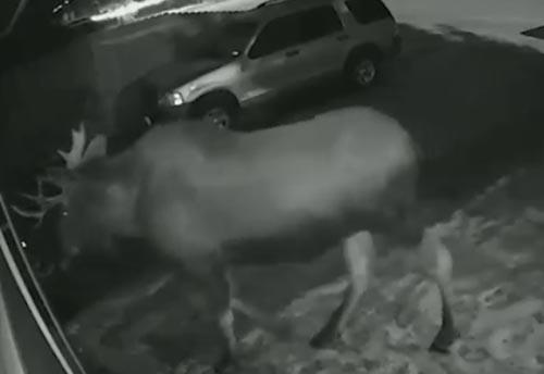 лось позвонил в дверной звонок